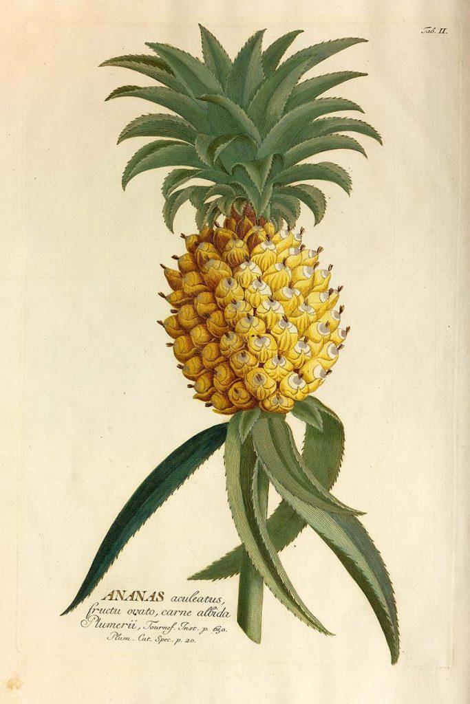 1765 Pineapple drawing