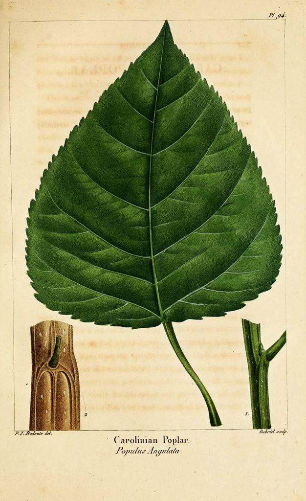 cottonwood poplar leaf botanical print