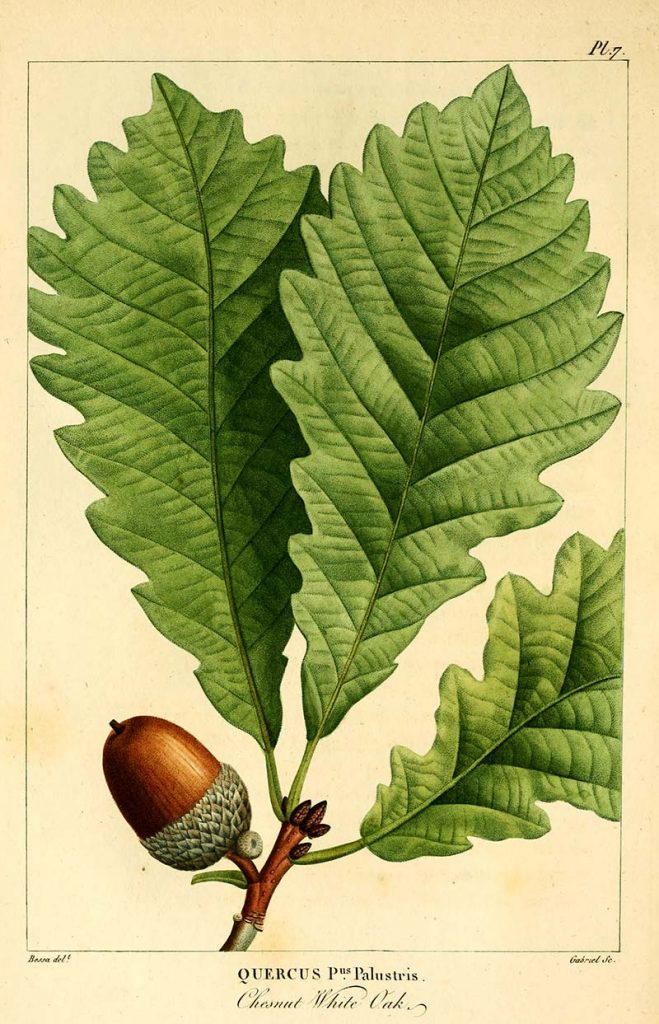 Chestnut white oak
