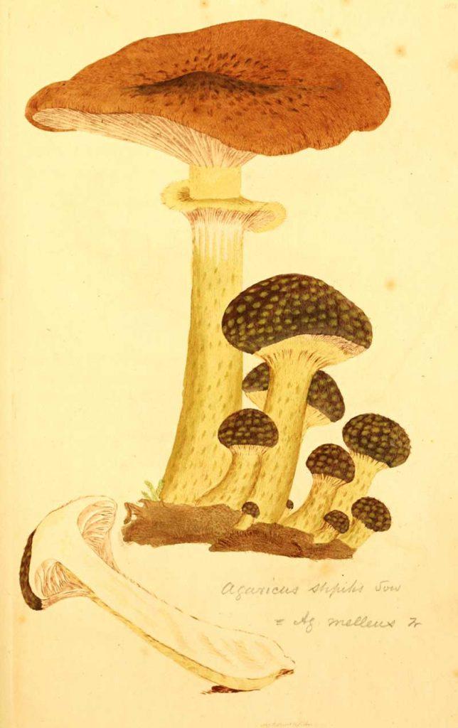 English mushrooms illustration