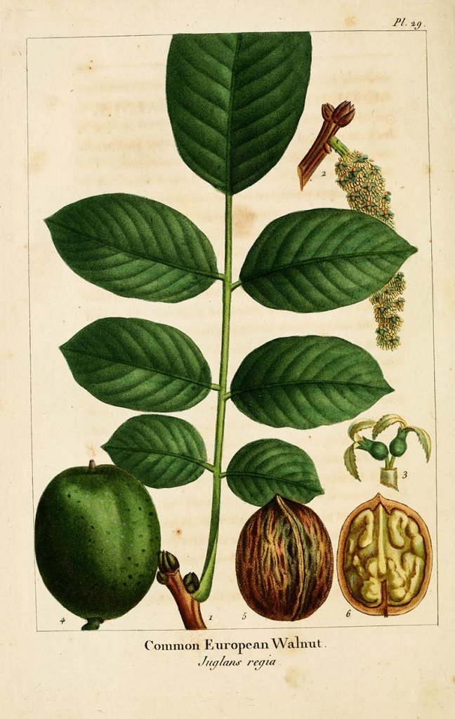 Comnon walnut