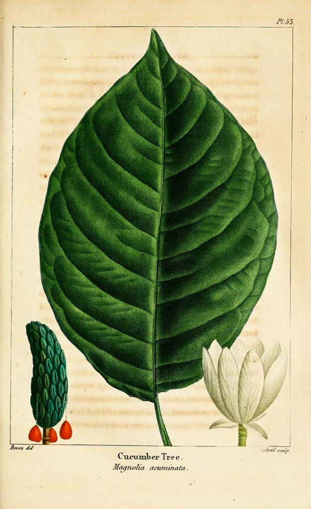 Leaf botanical of a cucumber magnolia tree