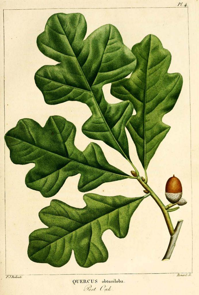 Post Oak Botanical leaf print