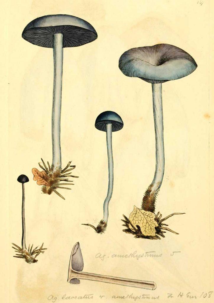 Amethyst deceiver mushroom