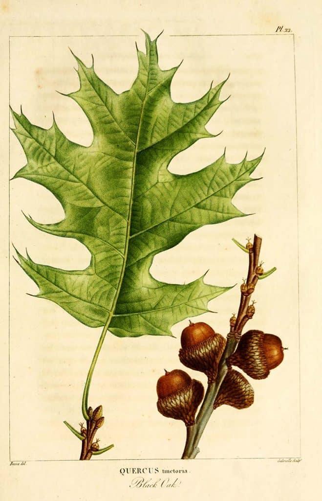 black oak leaf botanical illustration