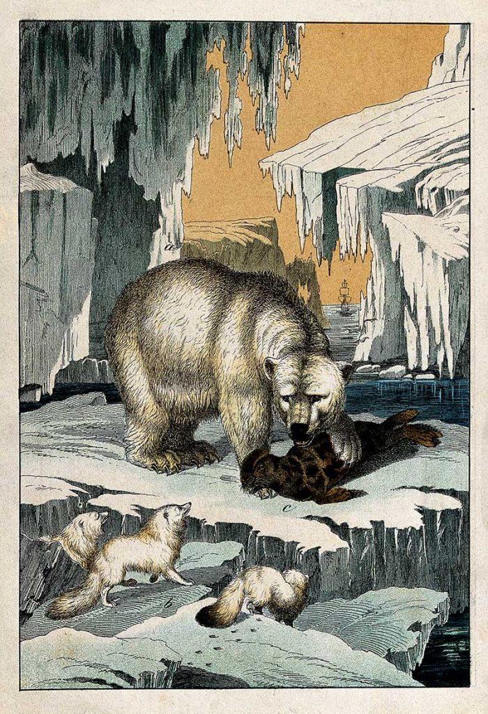 Polar bear devouring a seal