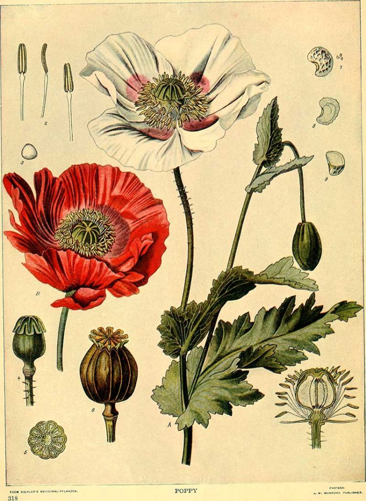 vintage pictures of poppies to download