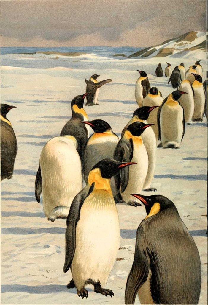 Emperor Penguins Illustration
