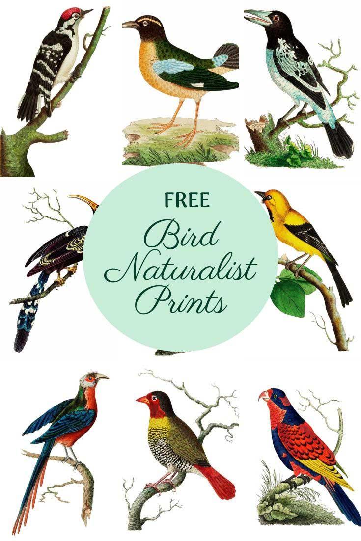 Vintage bird naturalist prints