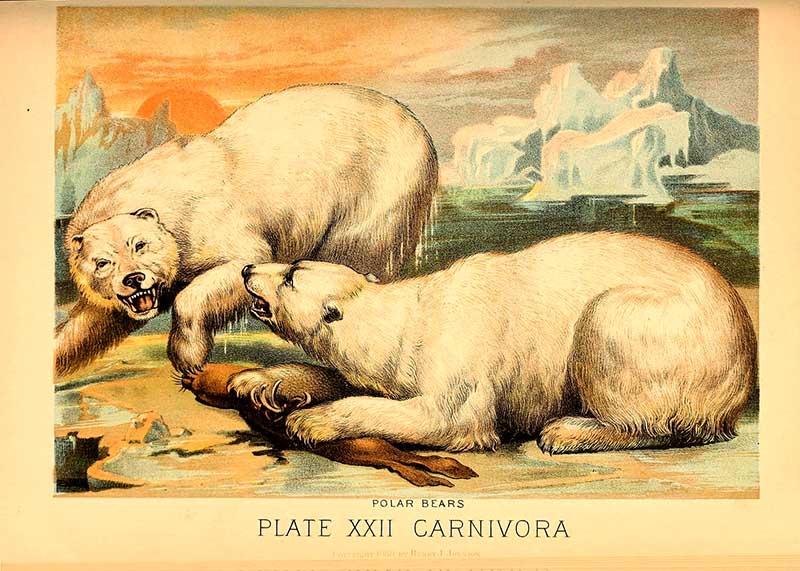 two aggressive polar bears