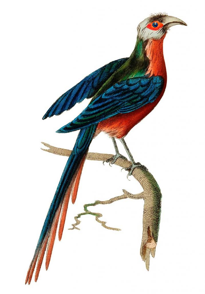 curve billed Cuckoo naturalist prints