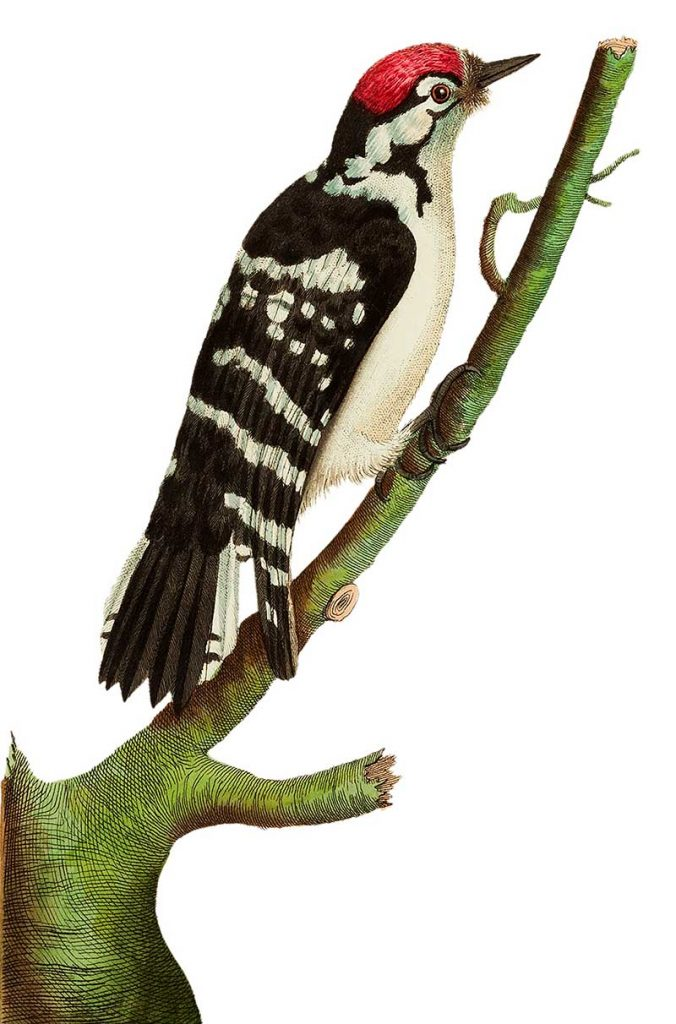 Lesser spotted woodpecker illustration from The Naturalist's