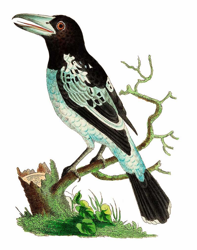 Pied Roller Naturalist Illustration
