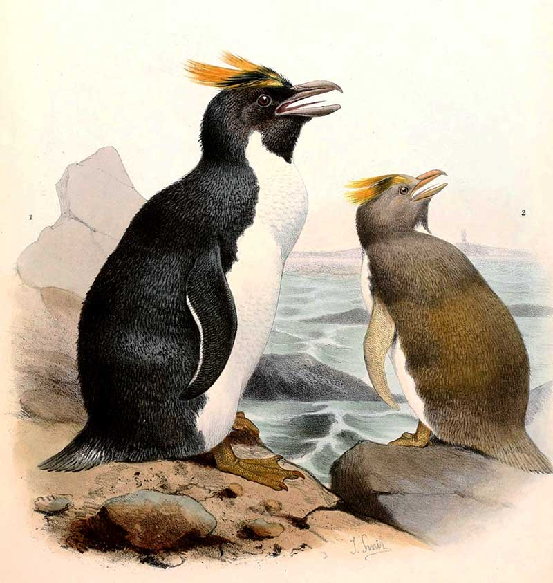 Marconi penguins illustraitons
