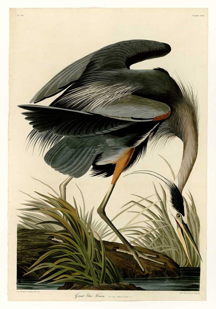 Great Blue Heron Audubon free print