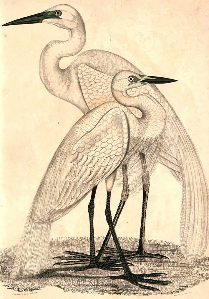 Great egrets painting
