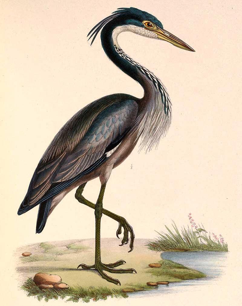 black headed heron