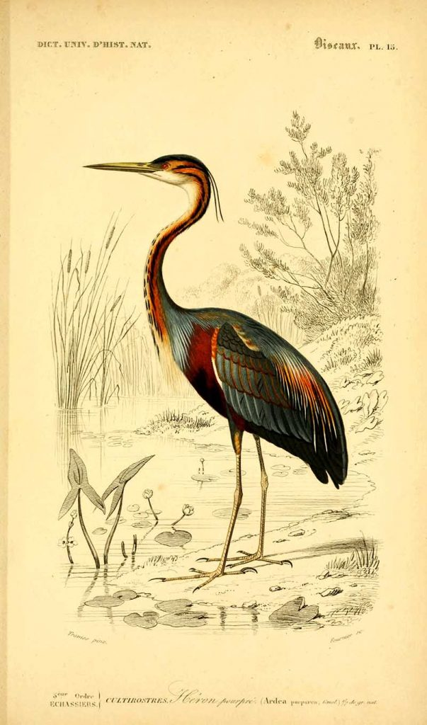 Charles Dessalines d' Orbigny  Purple Heron