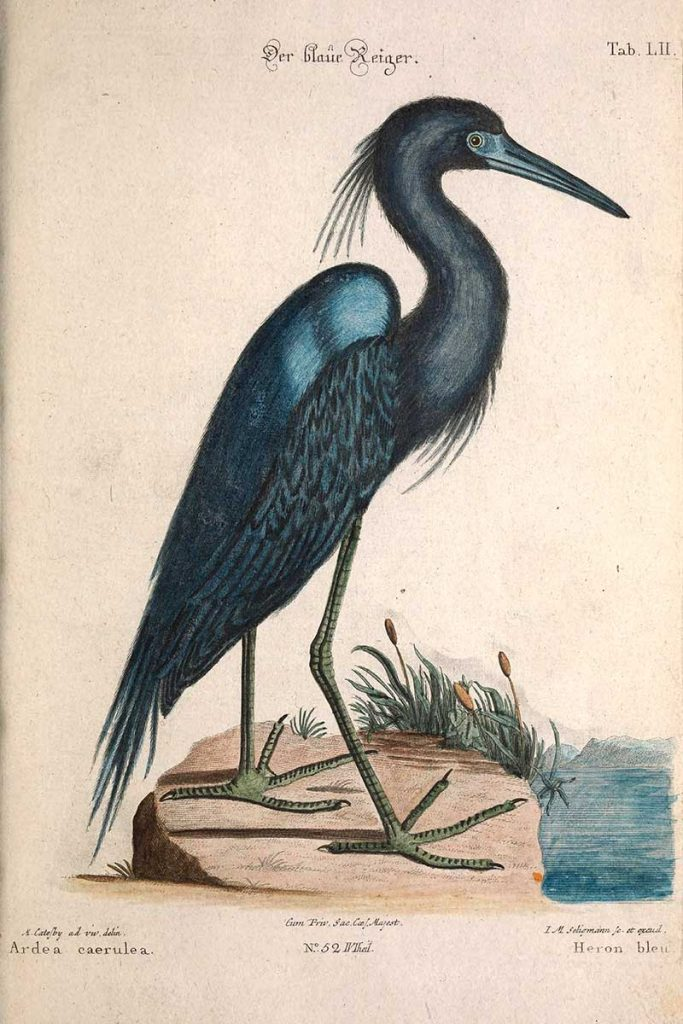 Mark Catesby Blue Heron