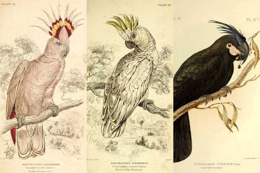 vintage cockatoo prints