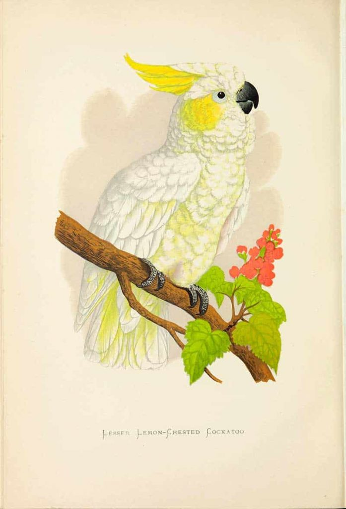 lesser lemon crested cockatoo