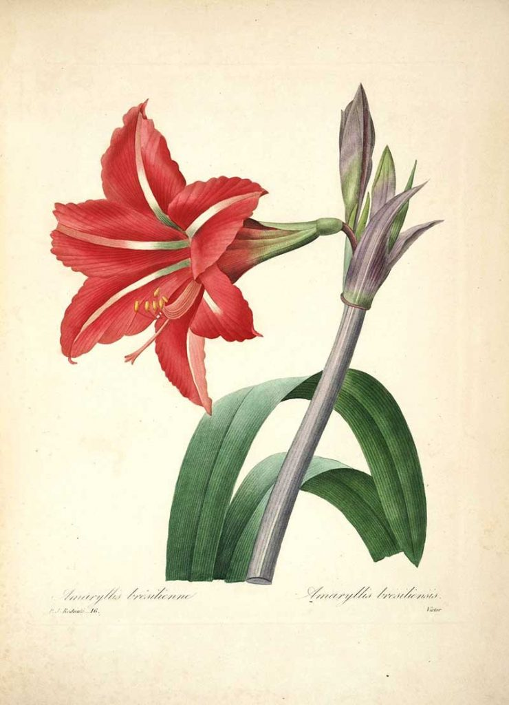 Amaryllis Pierre Joseph Redoute