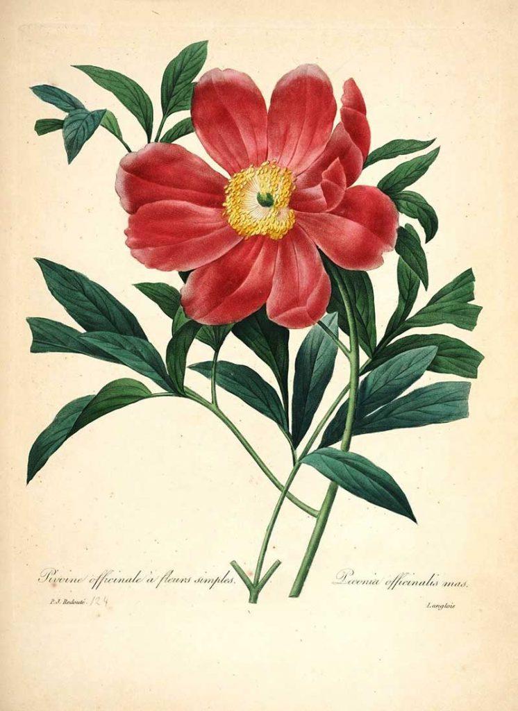 Common Peonie Choix des plus belles fleurs s