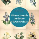 vintage flower prints by Redoute