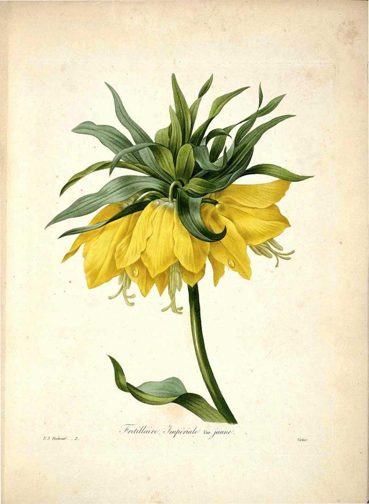 Fritillaria Imperialis - Crown Imperial