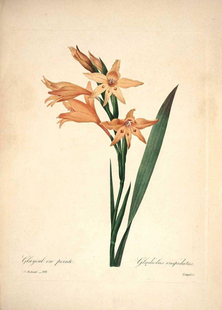 Gladioli Choix des plus belles fleurs s