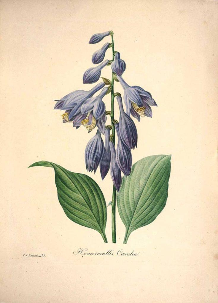 Hemerocallis daylily