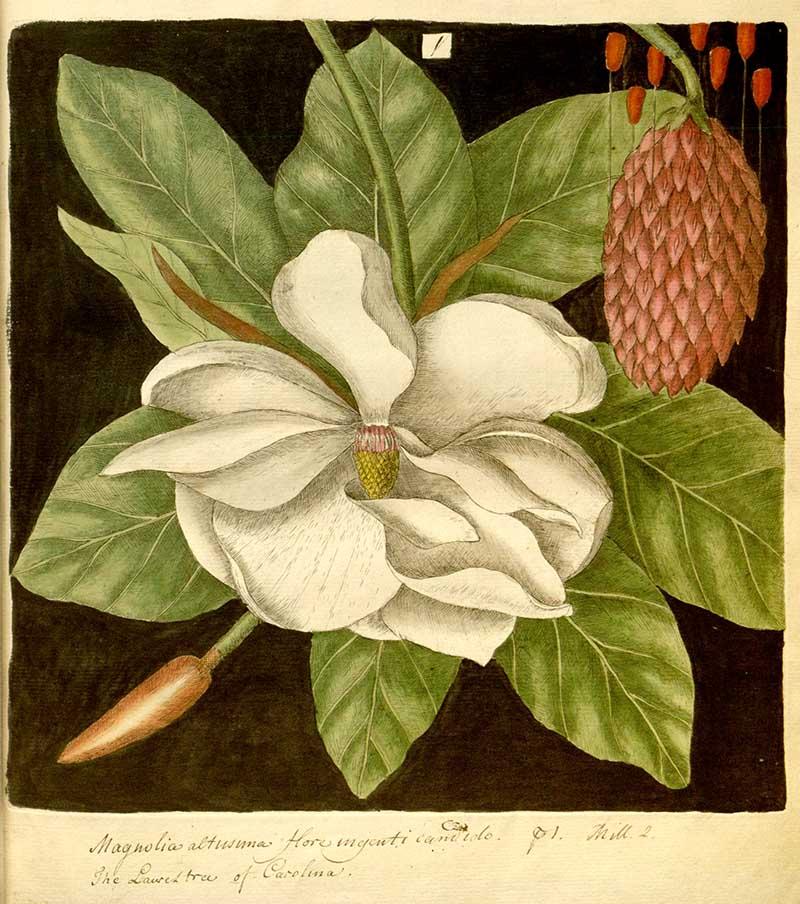 Magnolia prints