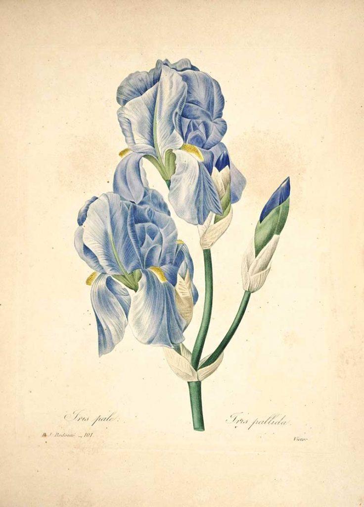 Iris Pierre Joseph Redoute