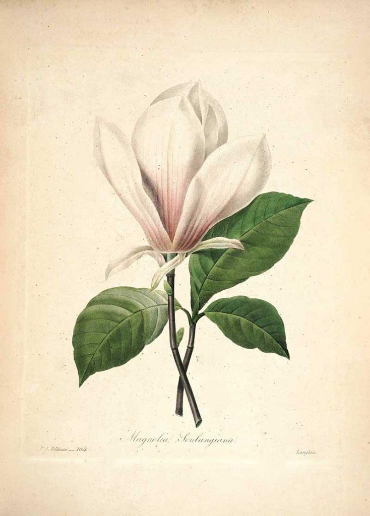 Magnolia Choix_des_plus_belles_fleurs