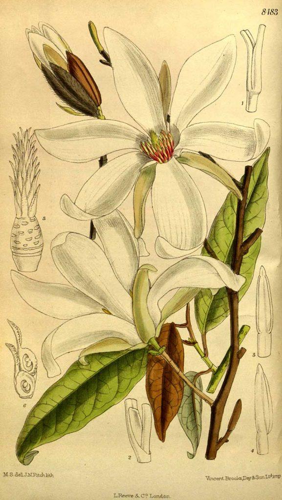 Magnolia_salicifolia