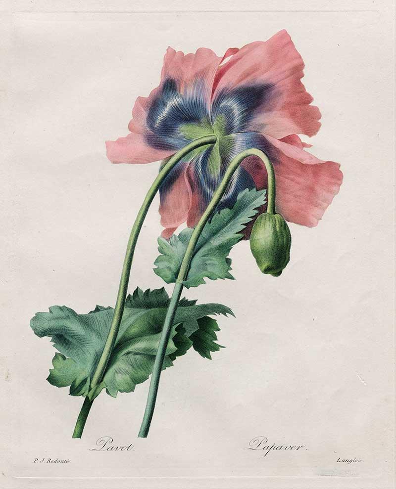 Poppy (Papaver) from Redouté Choix des Plus Belles Fleurs