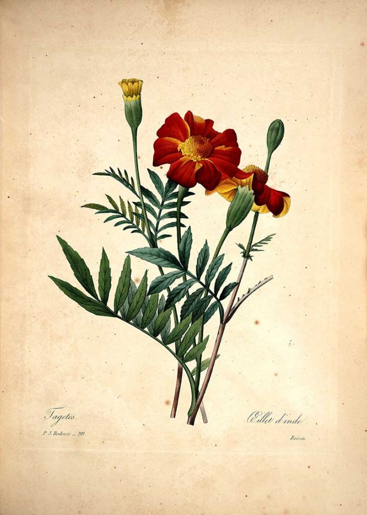 Redoute Flowers - Tagetes