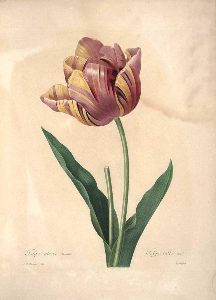 Pierre Joseph Redoute Tulip