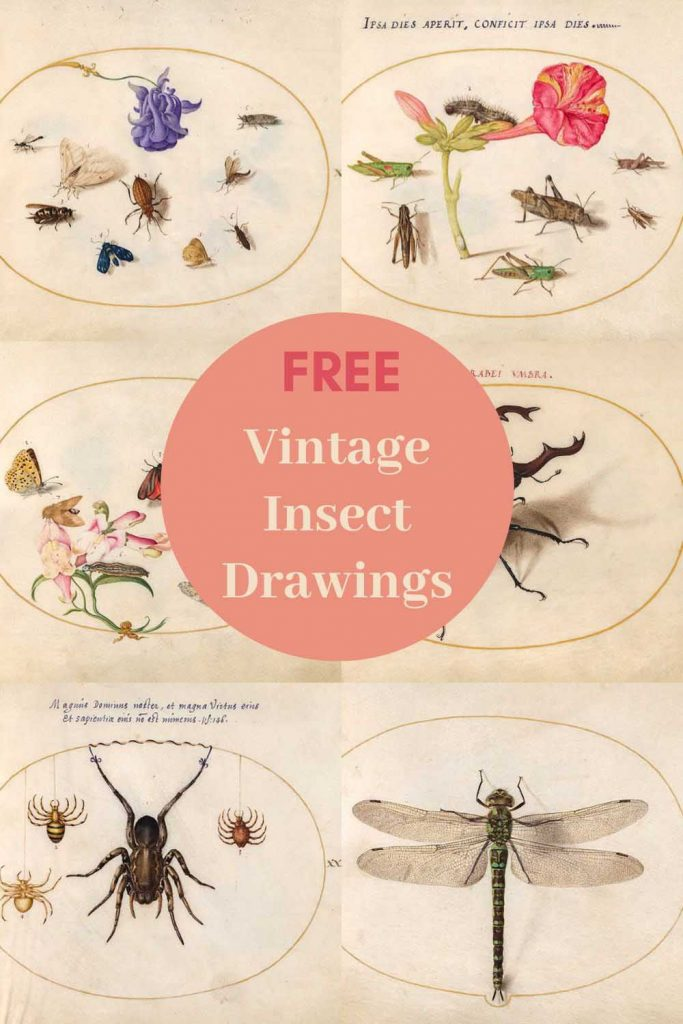 Insect drawings of Joris Hoefnagel