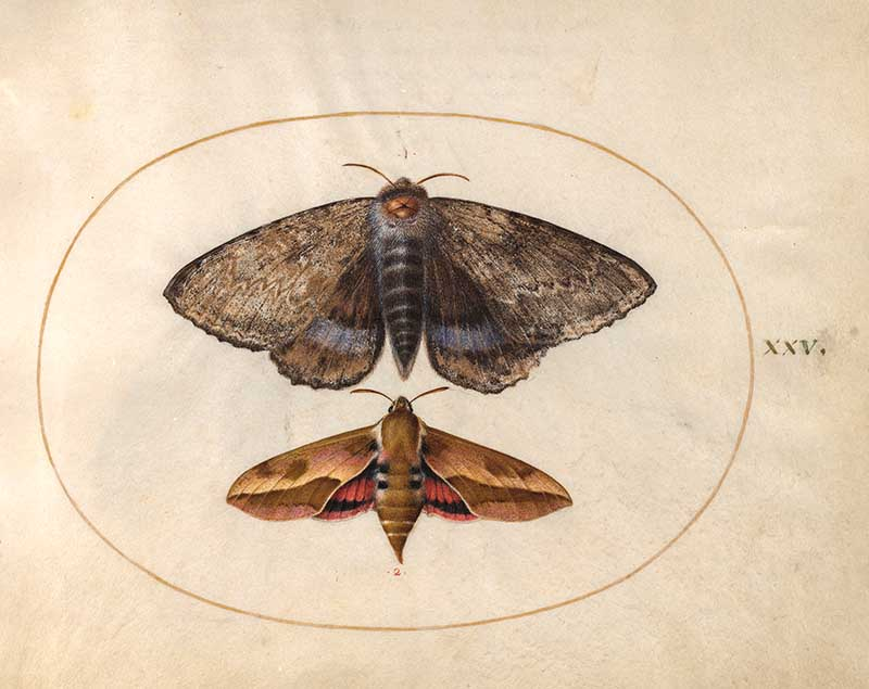 Plate 25 two large moths
