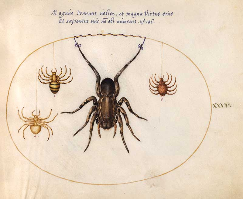 Plate 35 Giant spicer