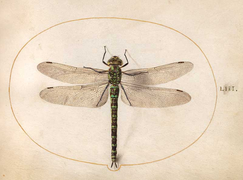 Large insect illustration of a dragonfly