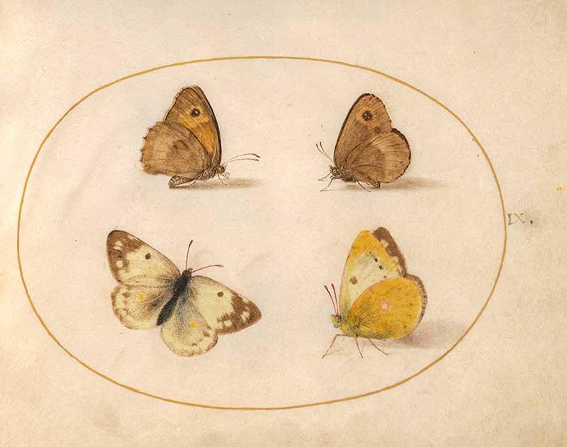 Joris Hoefnagel insect art four butterflies