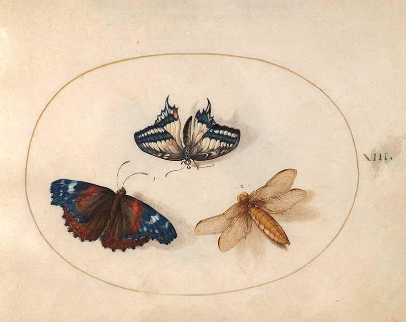 Joris Hoefnageln plate 13 blue butterflies