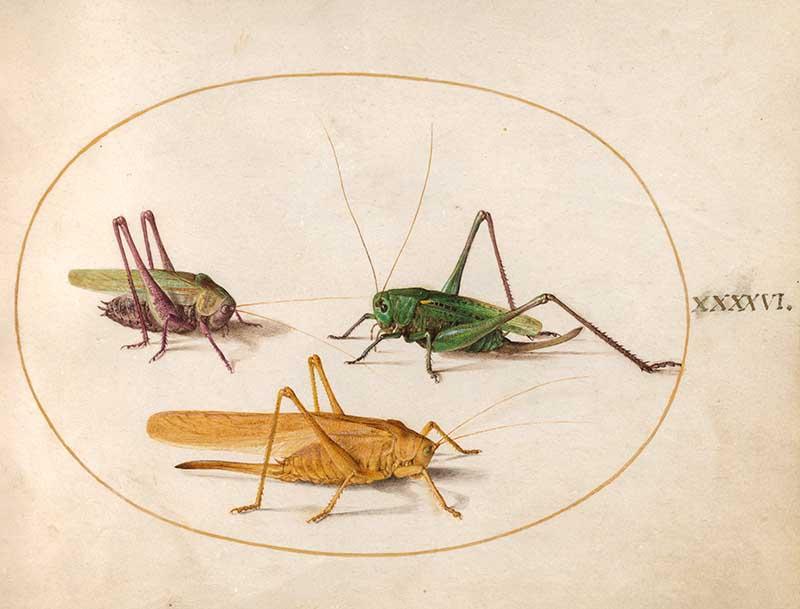 Joris Hoefnagel insect art grasshoppers