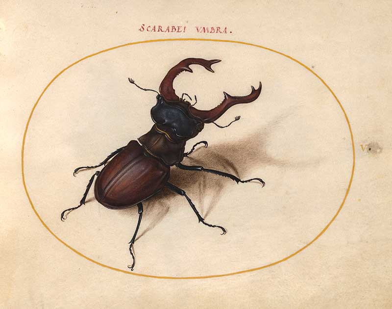 Insect illustration stage beetle