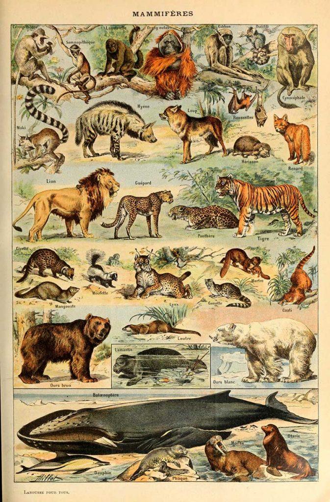 Adolphe Millot Mammals B poster