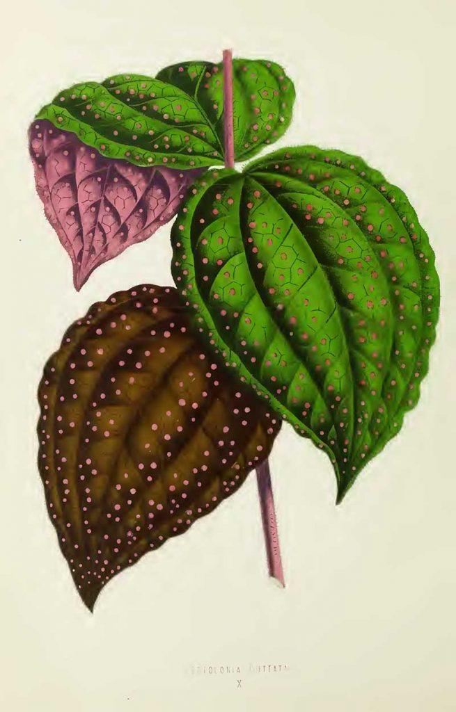Bertolonia Guttata Leaf Illustration