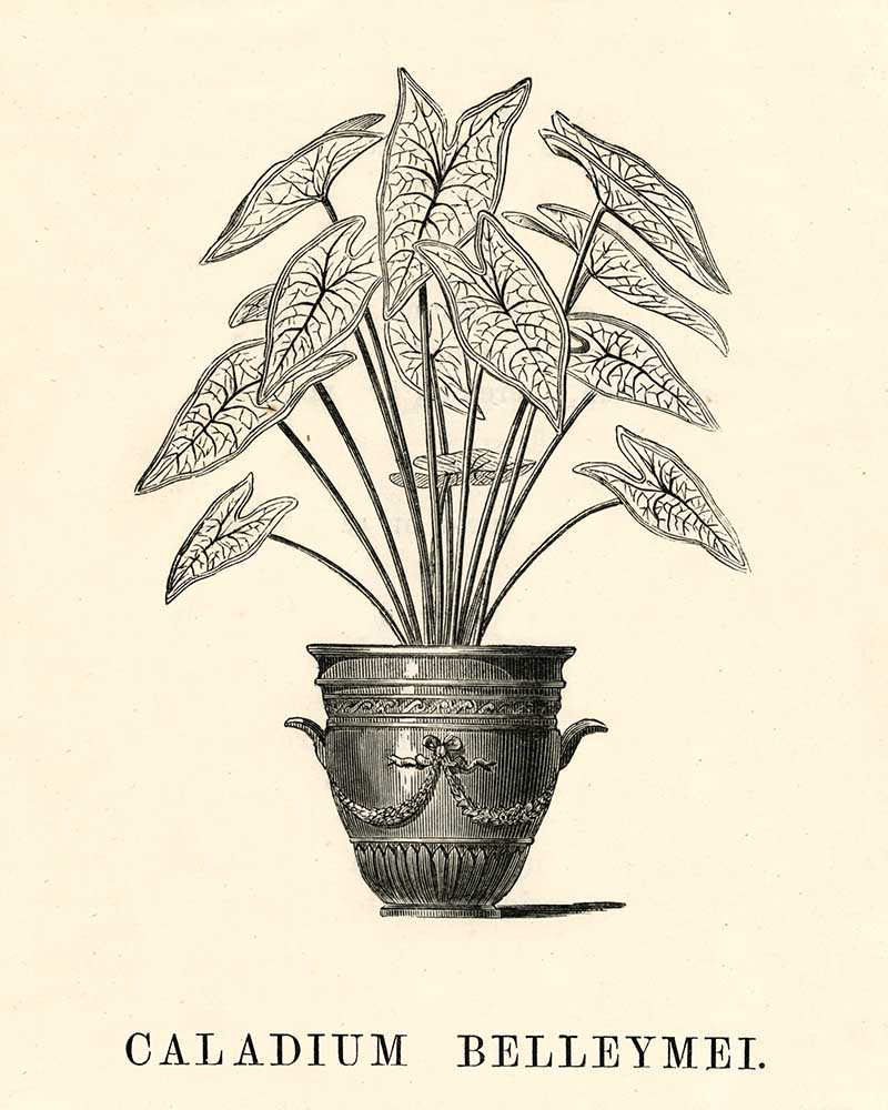 Angel wings Caladium potted plant