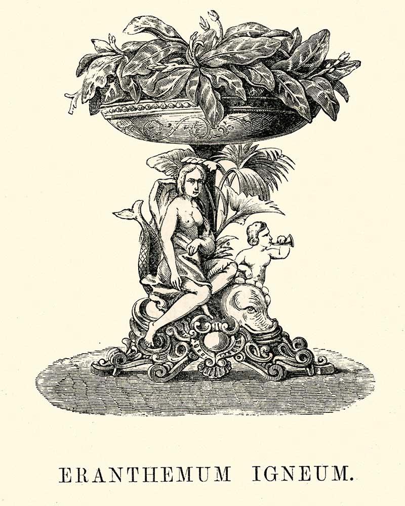 Eranthemum Igneum potted plant